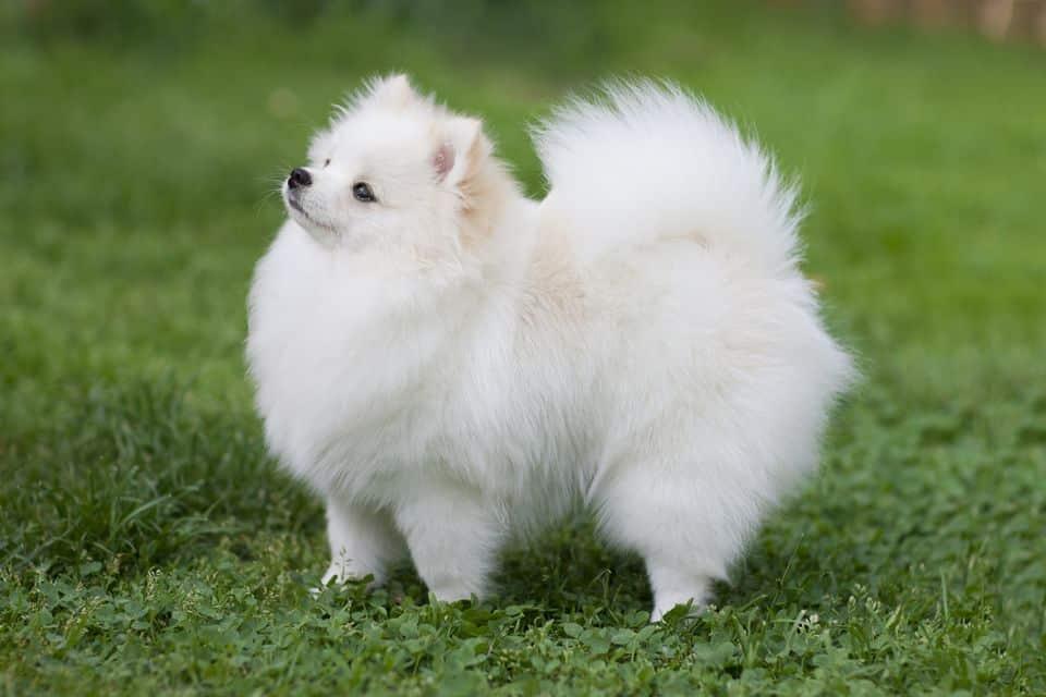 pomeriaan hondenras