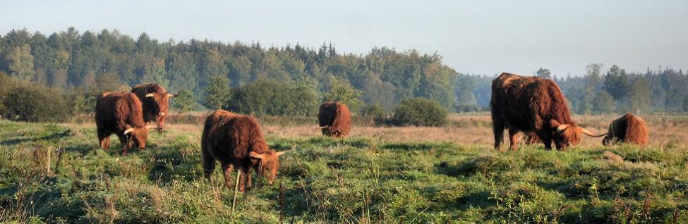 Schotse hooglanders op de heide in het Drents-Friese Wold