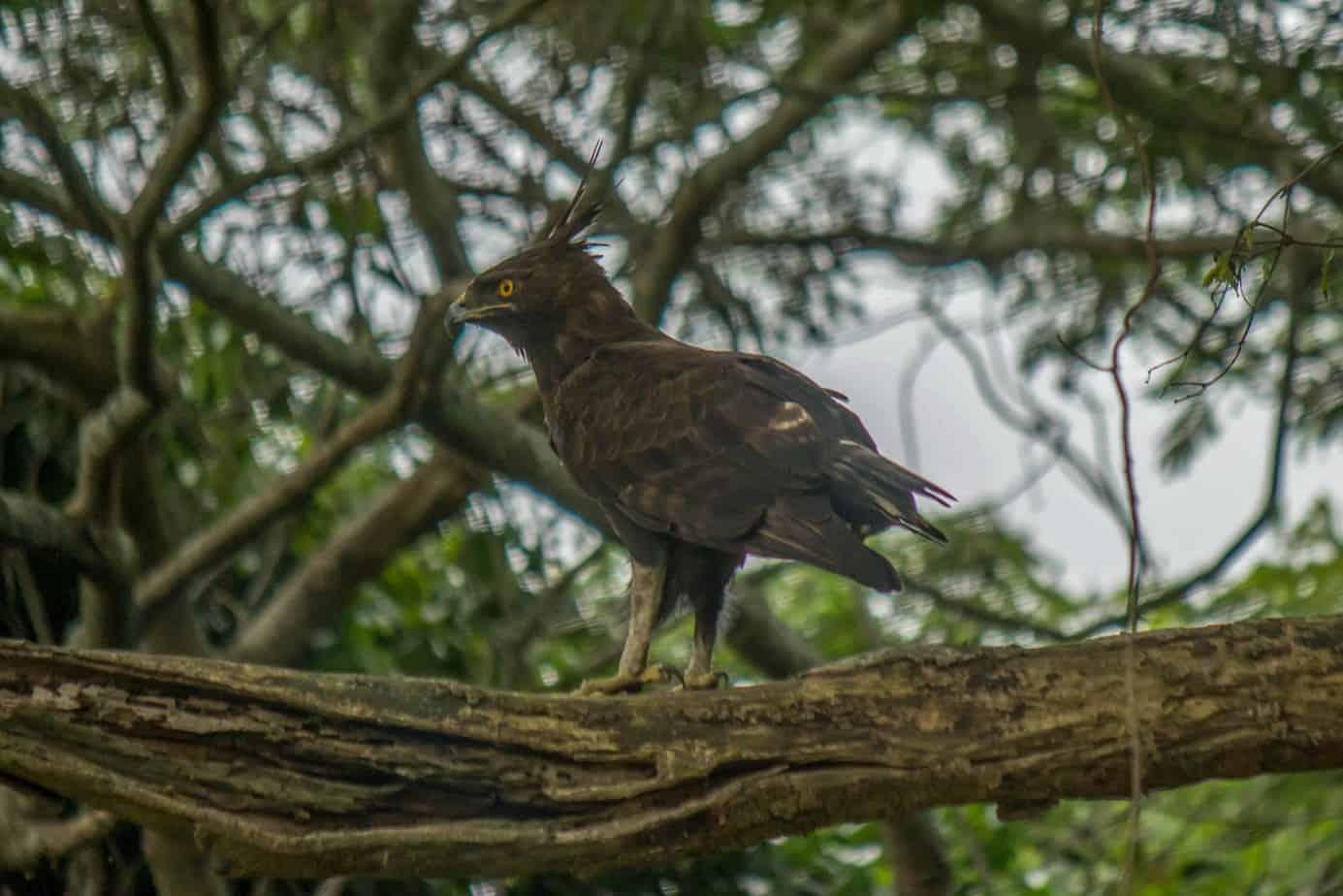Long-crested Eagle @ Eastern Shores - iSimangaliso Wetland Park. Photo: Håvard Rosenlund