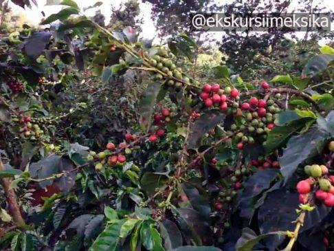 Черный Кофе в Мексике