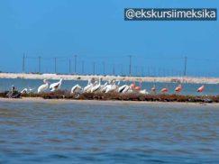 Пеликаны и фламинго в Рио Лагартос