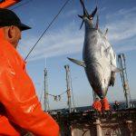 """Pew denuncia """"mala gestión"""" en el atún por las organizaciones regionales de pesca"""