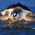 Pesca, tráfico marítimo y basura son amenazas para la tortuga de Canarias