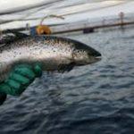 Canadá autoriza la producción de salmón transgénciao