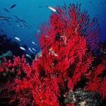 El Mapama concede licencias para extraer coral rojo en contra de los científicos