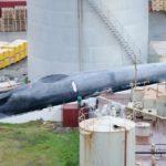 Sea Shepherd denuncia la captura de una ballena azul por Islandia