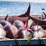 Malestar de las conserveras por la propuesta española sobre contingentes de atún