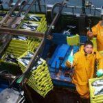 La casi totalidad de la flota de cerco ha agotado la cuota de verdel