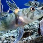 Una investigación permite conocer un nuevo pez en la Patagonia Austral
