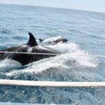 Las orcas chocan contra barcos de España y Portugal sin que se conozca el motivo