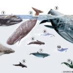 Asociaciones del Cantábrico y Noroeste invitadas a un proyecto de cetáceos