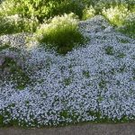 Blue Star Creeper Care: A Beautiful Ground Cover Plant