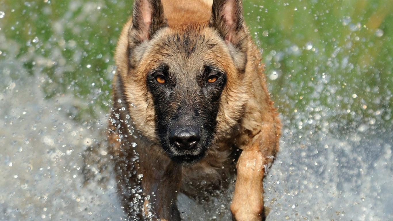 Anjing Herder