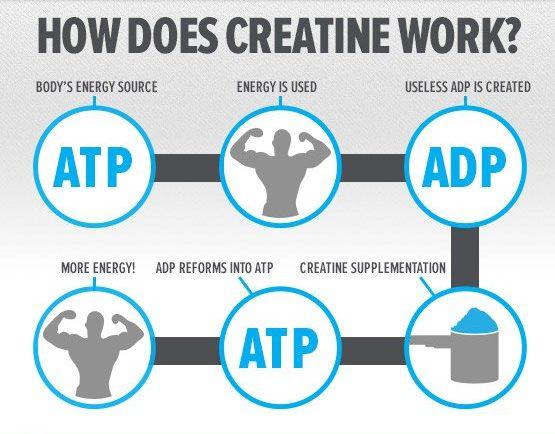 يعمل الكرياتين على تحويل adp إلى atp