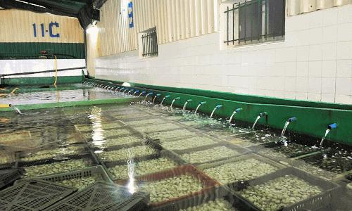 Instalaciones habilitadas con piscinas para conservar vivas las almejas y otros bivalvos