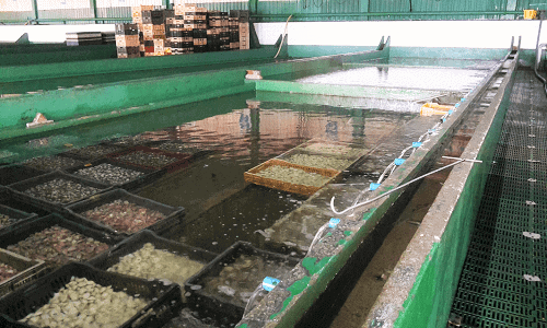 Piscinas para depurar marisco de concha: moluscos bivalvos y univalvos
