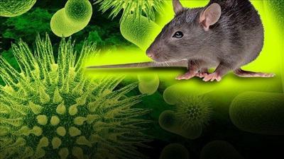 Hantavirus and rat