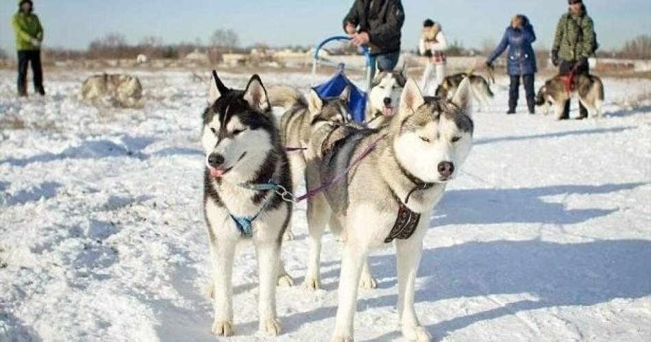 Прогулянка на собачих упряжках 1 км.