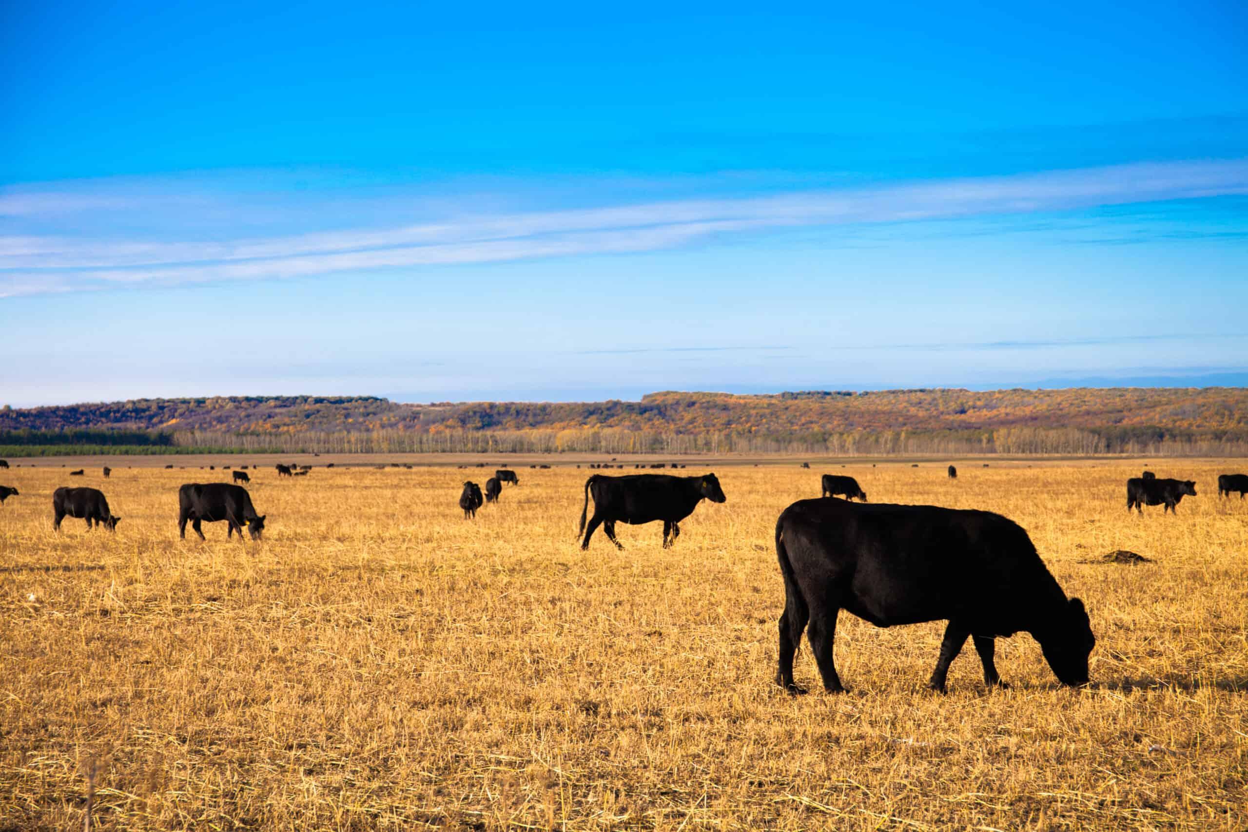 Black Angus Bulls graze on the meadow