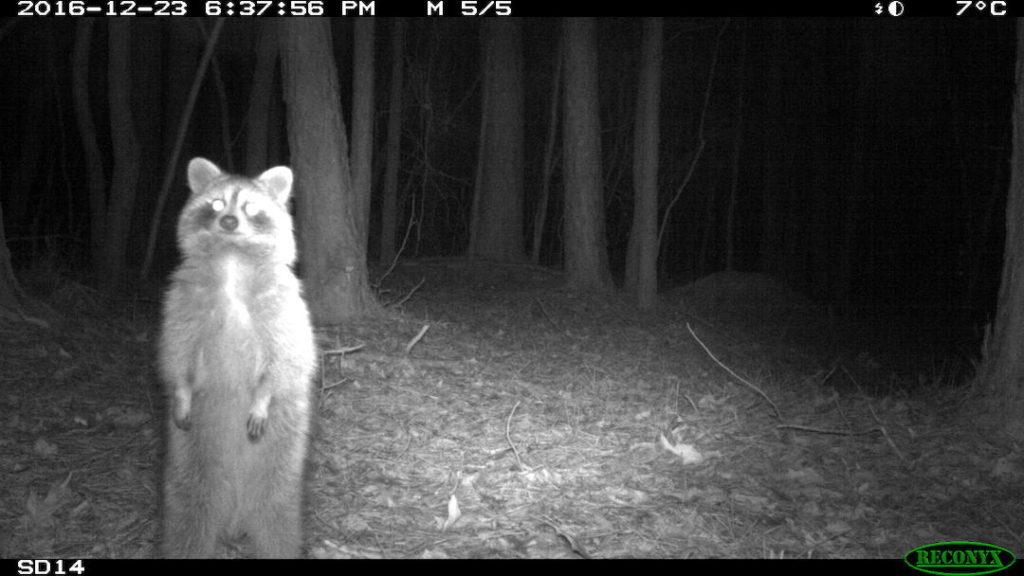 Raccoon looking at a camera trap.