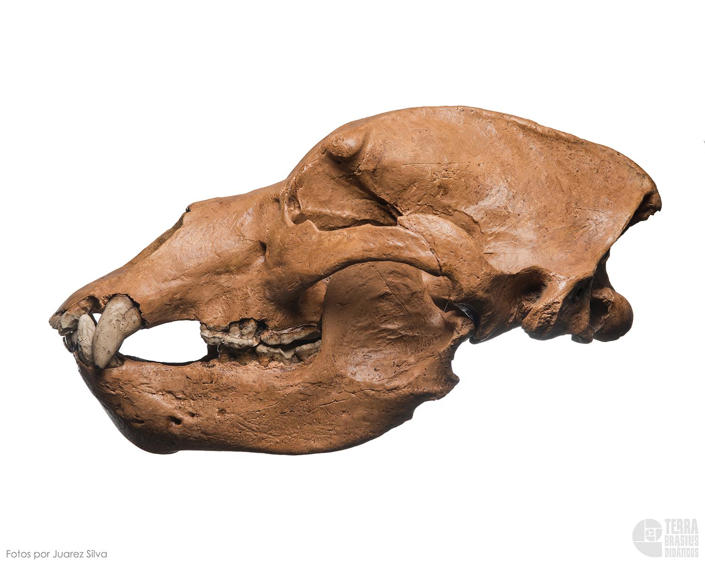 Crânio de urso das cavernas: Ursus spelaeous