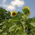 Coltivare piante per il compost