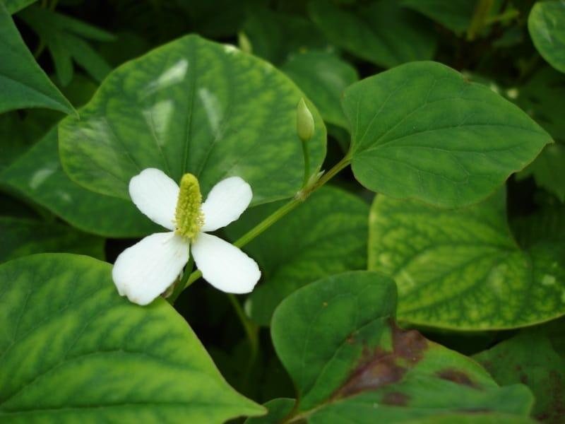 Fish Mint vietnamese herbs