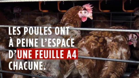 Chambly : un élevage intensif de poules en cages accusé de maltraitance par l'association L214