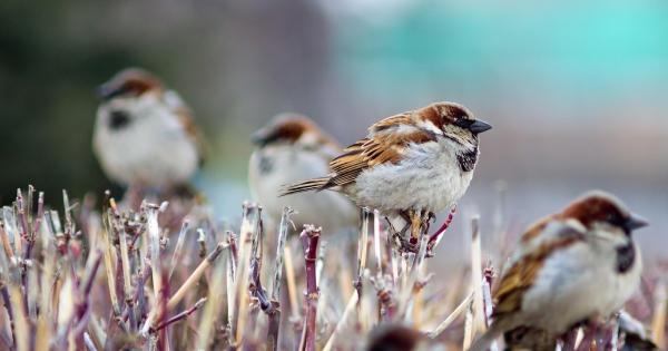 sparrows_hd_18