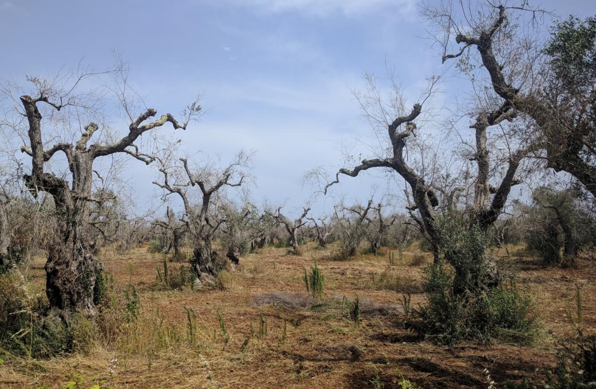 Xylella fastidiosa, ovvero: caccia alle streghe in versione agronomica