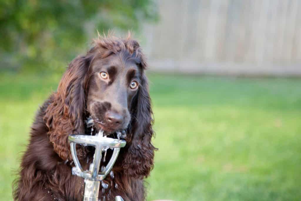 Amerikaanse wayerspaniel hond