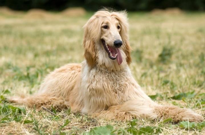borzoi hond