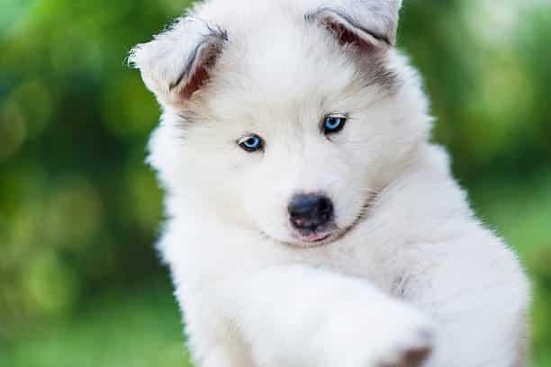 eskimo hond