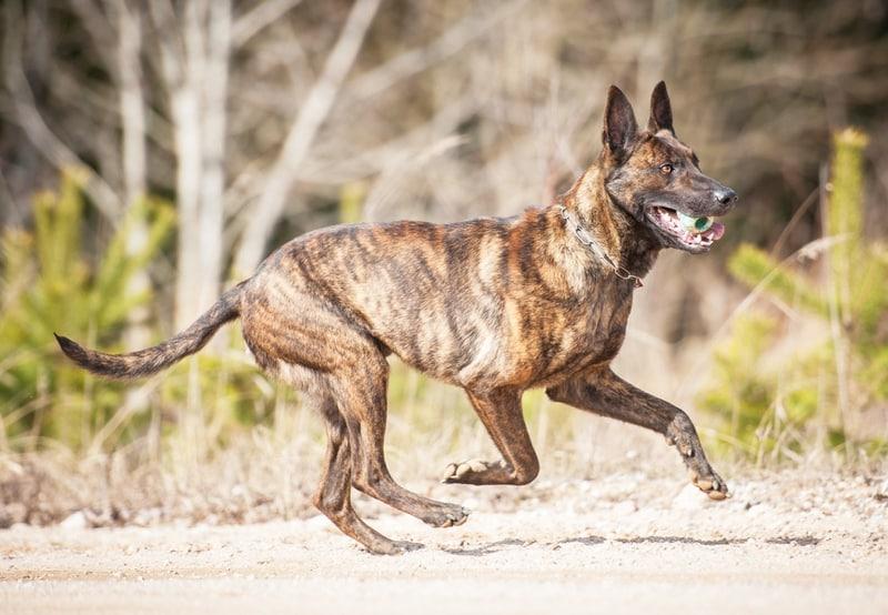 nederlandse herdershond