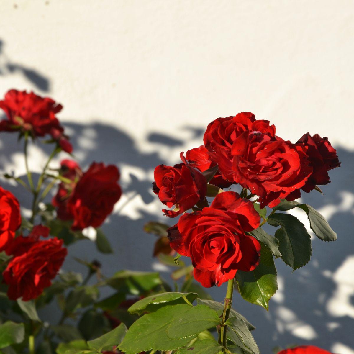 Wie schneiden Sie Ihre Rosen richtig?