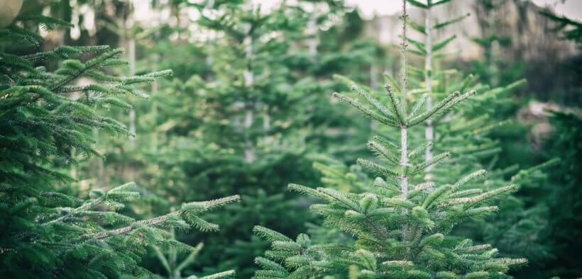 Zu Weihnachten immergrüne Pflanzen