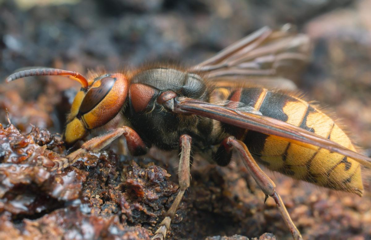 Seitliche Nahaufnahme einer europäischen Hornisse (vespa crabro)