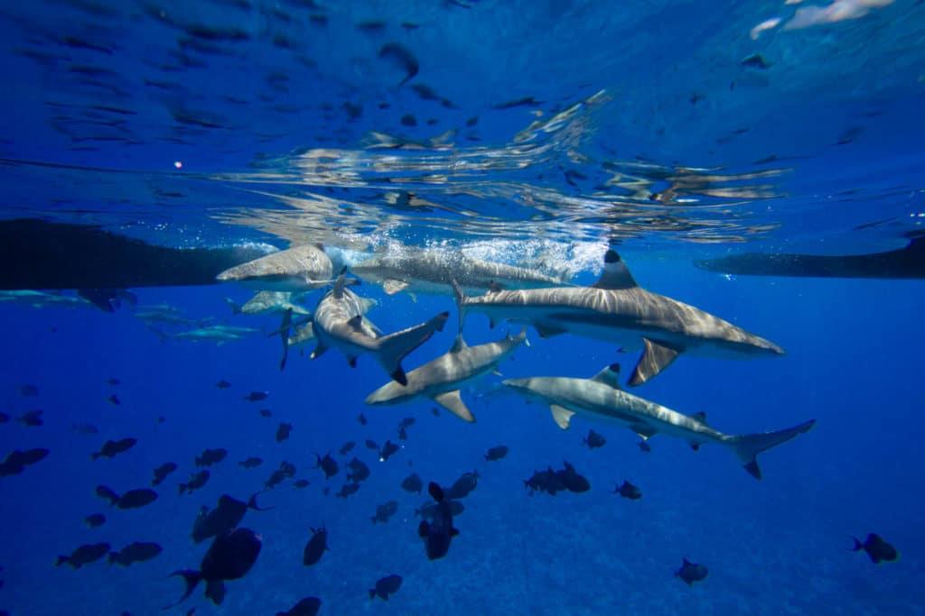 shark feeding bora bora