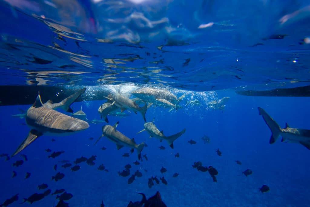 shark feeding in Bora Bora