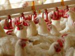 «Юрма» построит завод куриных удобрений