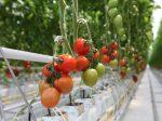 «Эко-Культура» расширяет тепличный комплекс на Ставрополье