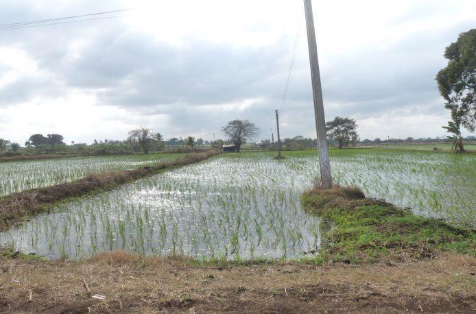 Китай поможет Кубе в выращивании риса
