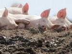 Depuporc переработает свиной навоз