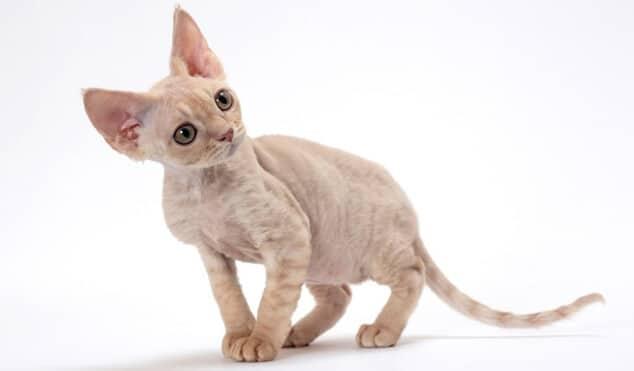 Kucing Mini