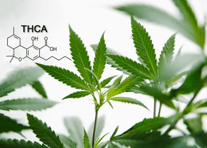 Was ist THCA und welchen medizinischen Nutzen hat das Cannabinoid?