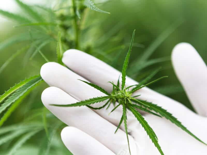 Pure eröffnet erstes Cannabis Forschungszentrum