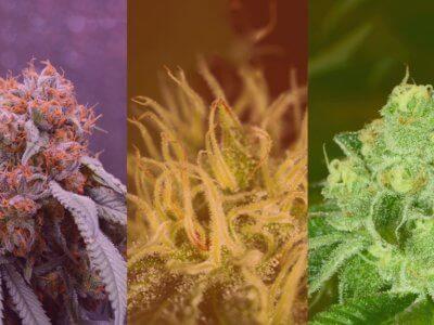 Cannabis Sorten: Indica, Sativa und Ruderalis – Das sind die Unterschiede