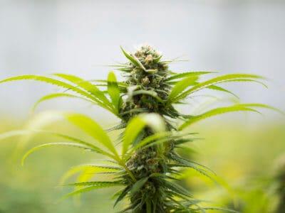 Autoflowering Cannabis: Was ist das, und welchen medizinischen Nutzen bietet es?
