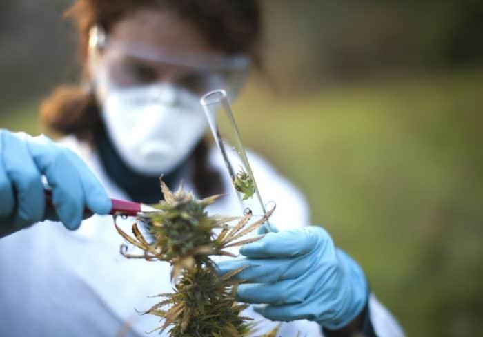 Cannabis-Ausschreibung: FDP setzt Gesundheitsminister unter Druck