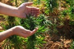 Libanon: Wird Medizinalhanf legalisiert?